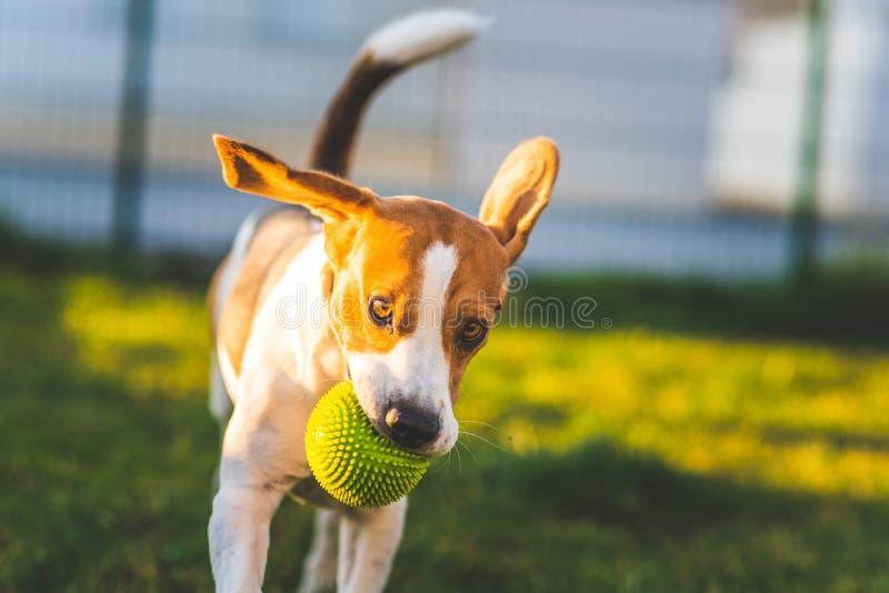 Le chien de briquet fonctionne dans le jardin vers la caméra avec la boule verte photos stock