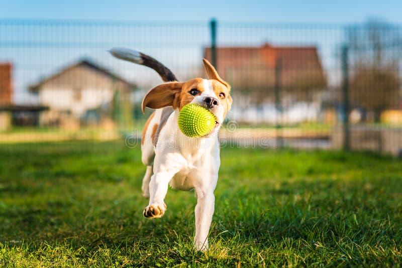 Le chien de briquet fonctionne dans le jardin vers la caméra avec la boule verte images stock