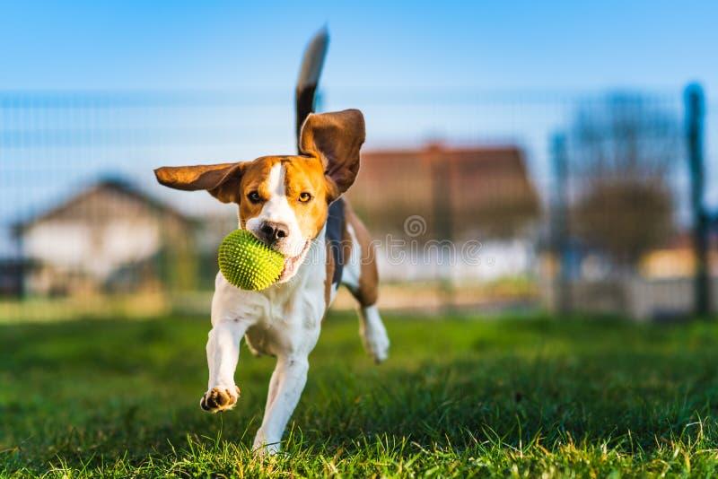 Le chien de briquet fonctionne dans le jardin vers la caméra avec la boule verte photographie stock