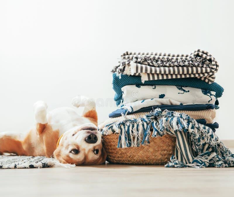Le chien de briquet se trouve sur le plancher près du panier avec la blanchisserie image libre de droits