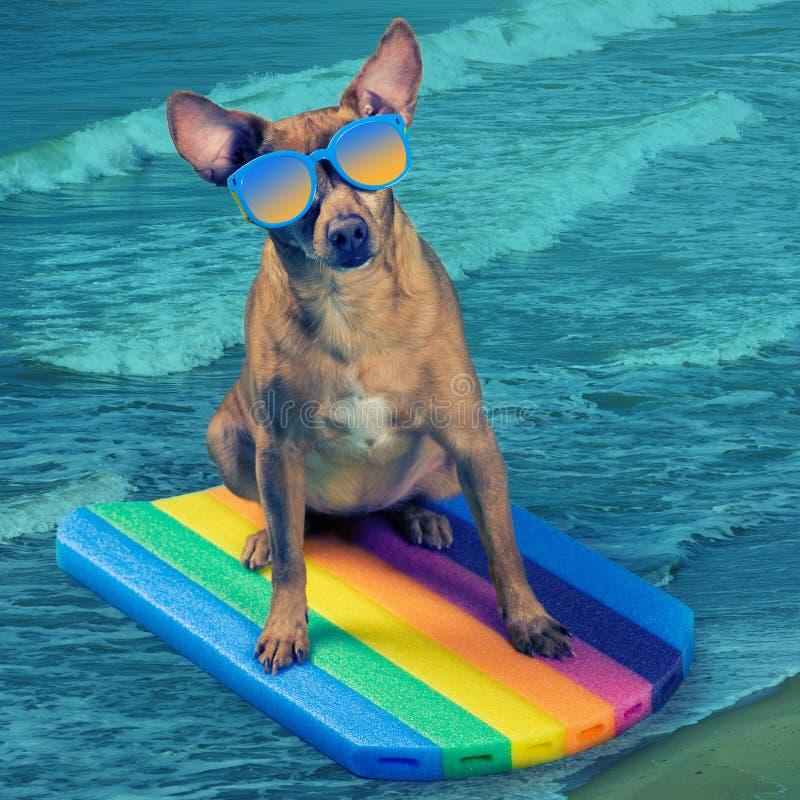 Le chien de Brown en verres de soleil, sur un conseil de natation, semble intéressé, concept des vacances et mode de vie actif images libres de droits