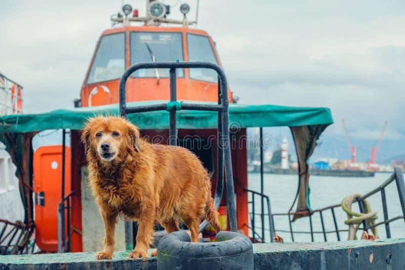 Le chien de Brown garde le remorqueur photo stock