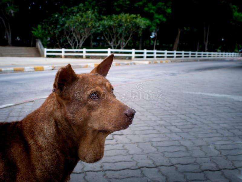 Le chien de bruit de pas de Brown est une maladie de gorge images stock