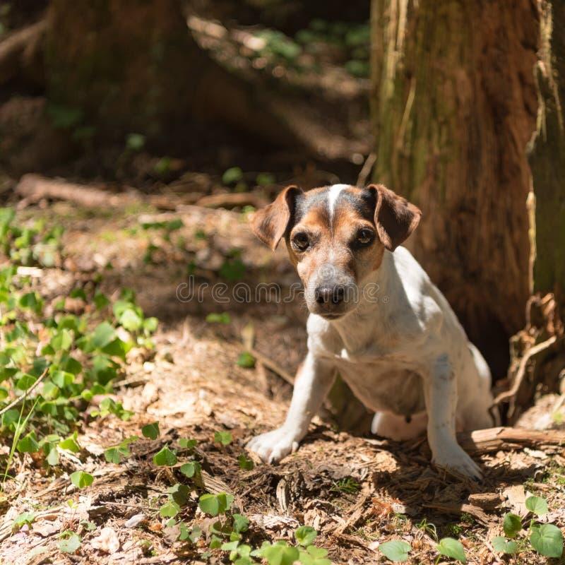 Le chien de chasse mignon de Jack Russell Terrier looing hors d'une caverne photographie stock libre de droits