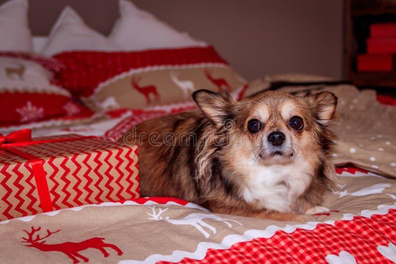 Le chien de chiwawa se trouve sur le lit images stock