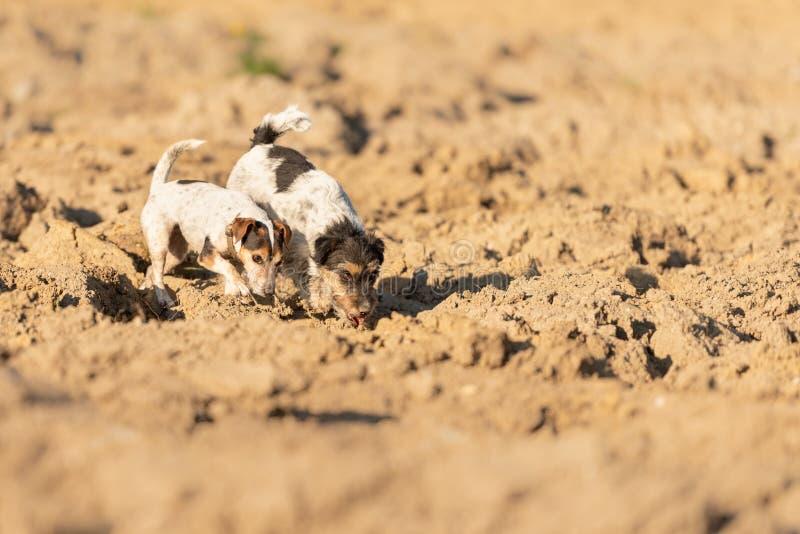 Le chien de 2 Jack Rusell Terrier suivent une traînée sur un champ Les chiens sont 4 et 12 années photo stock