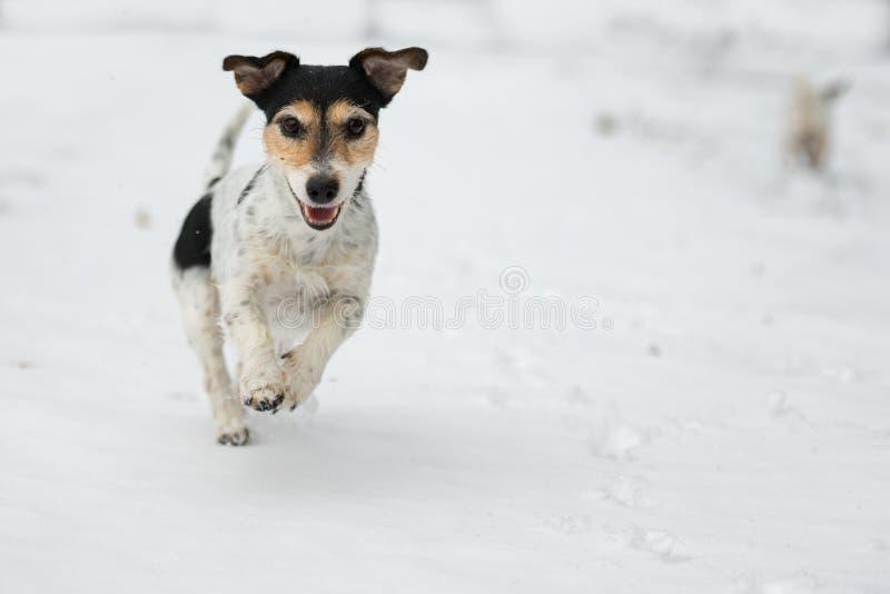 Le chien de Jack Russell Terrier fonctionne au-dessus d'un pr? neigeux d'hiver photographie stock libre de droits