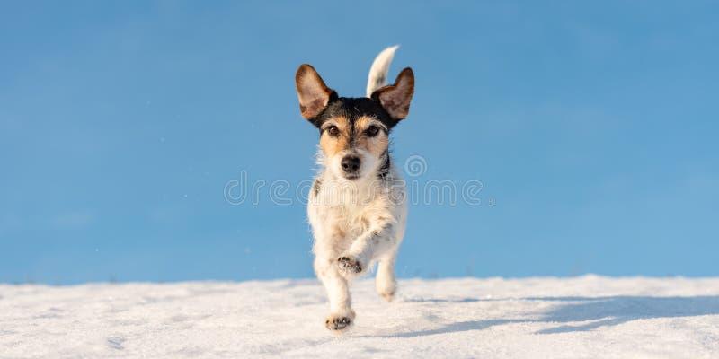 Le chien de Jack Russell Terrier fonctionne en hiver au-dessus d'un pré neigeux devant le ciel bleu photographie stock libre de droits