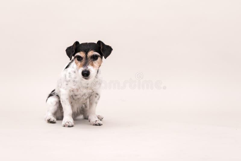 Le chien de Jack Russell Terrier se repose et sur le blanc 3 années photographie stock