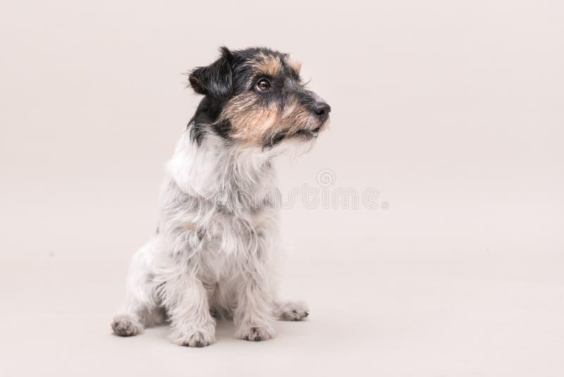 Le chien de Jack Russell Terrier se repose et sur le blanc 3 années photo libre de droits