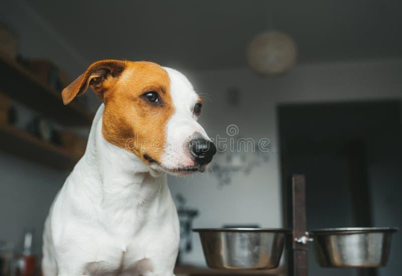 Le chien de Jack Russell Terrier se tient à côté de son bol et attentes vides de nourriture la nourriture photos libres de droits