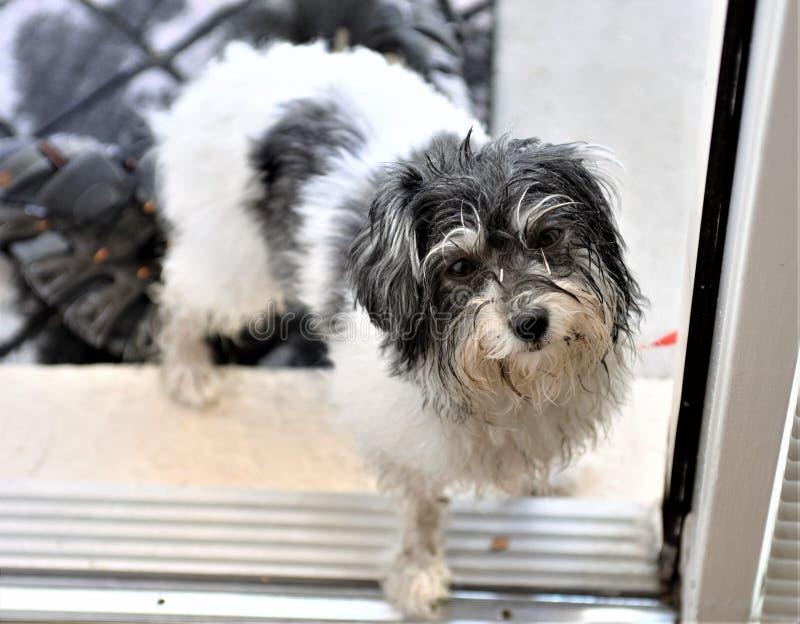 Le chien de jouet havanese sale veut venir dans la maison photos libres de droits