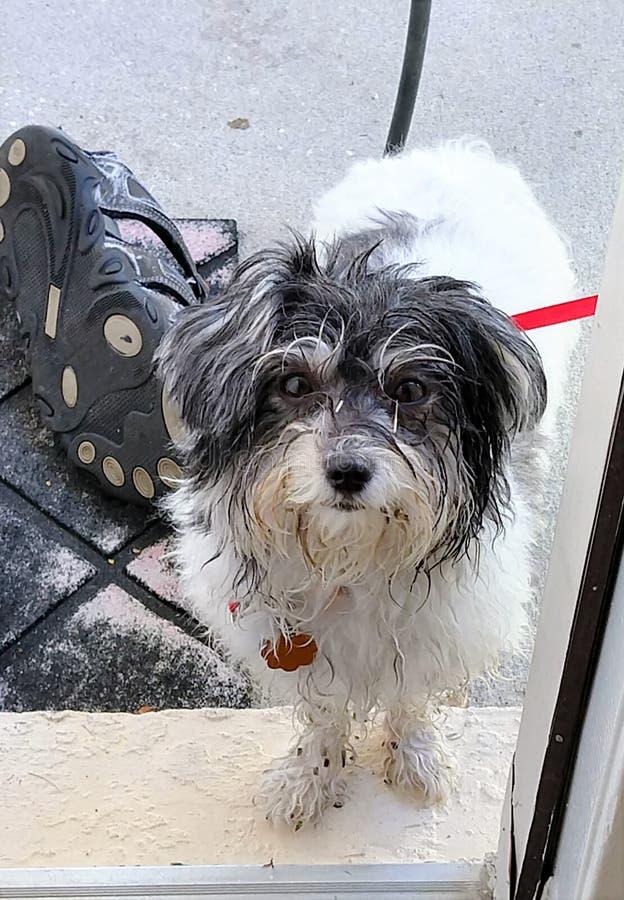 Le chien de jouet havanese sale veut venir dans la maison photographie stock
