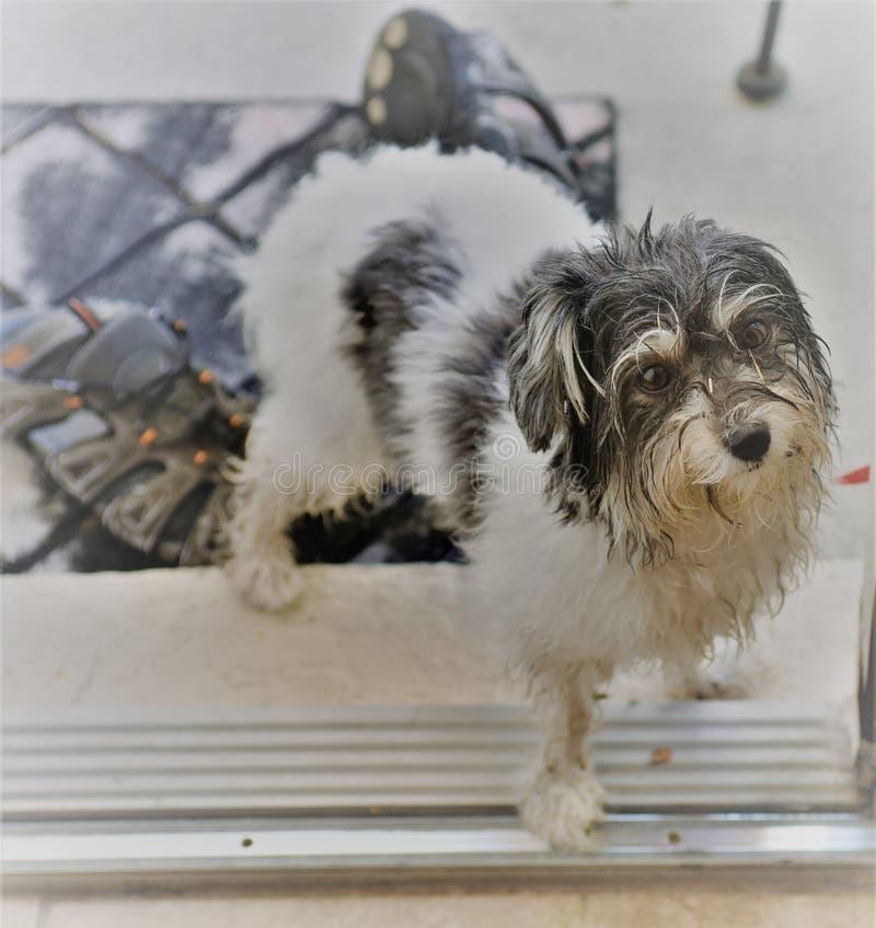 Le chien de jouet havanese sale veut venir dans la maison photos stock