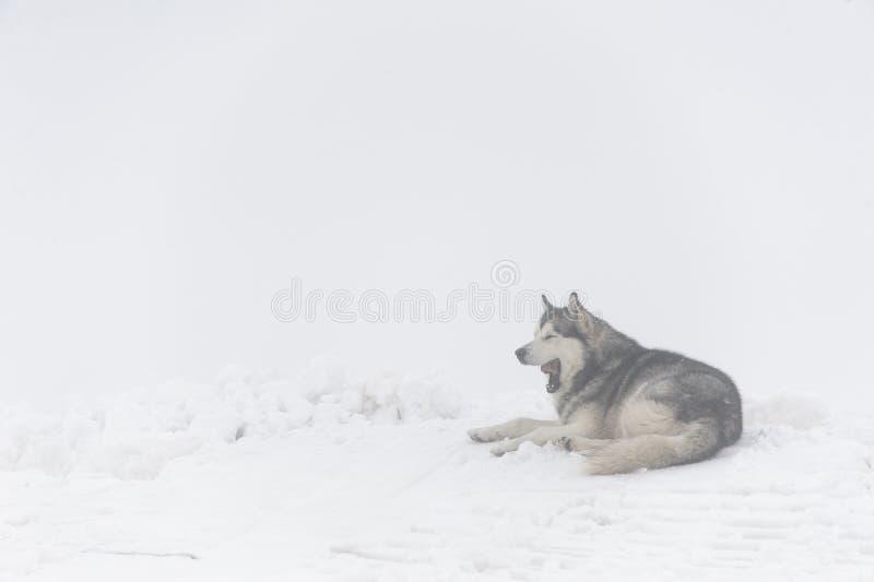 Le chien de Malamute baîlle, se trouvant sur la neige dans les montagnes images stock