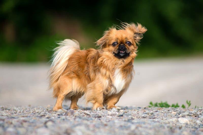 Le chien de pékinois pour une promenade photos stock