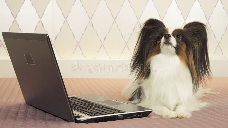 Le chien de Papillon se trouve près de l'ordinateur portable sur le lit photos libres de droits