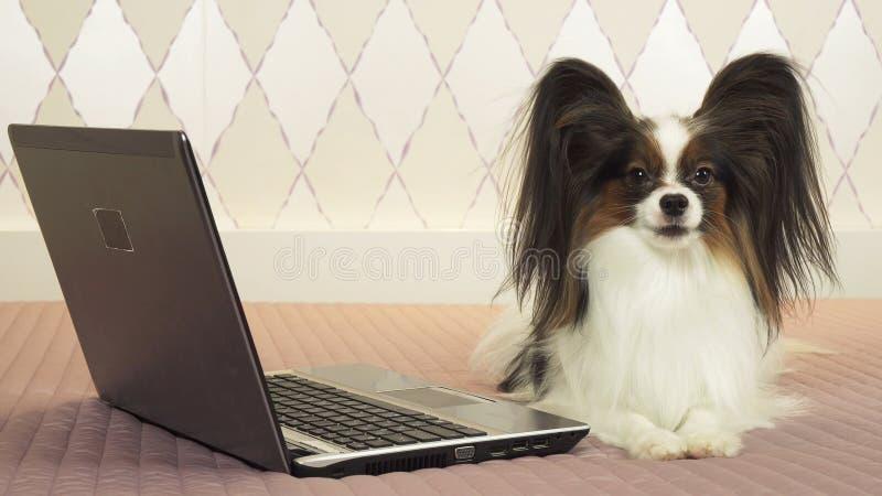 Le chien de Papillon se trouve près de l'ordinateur portable sur le lit photos stock
