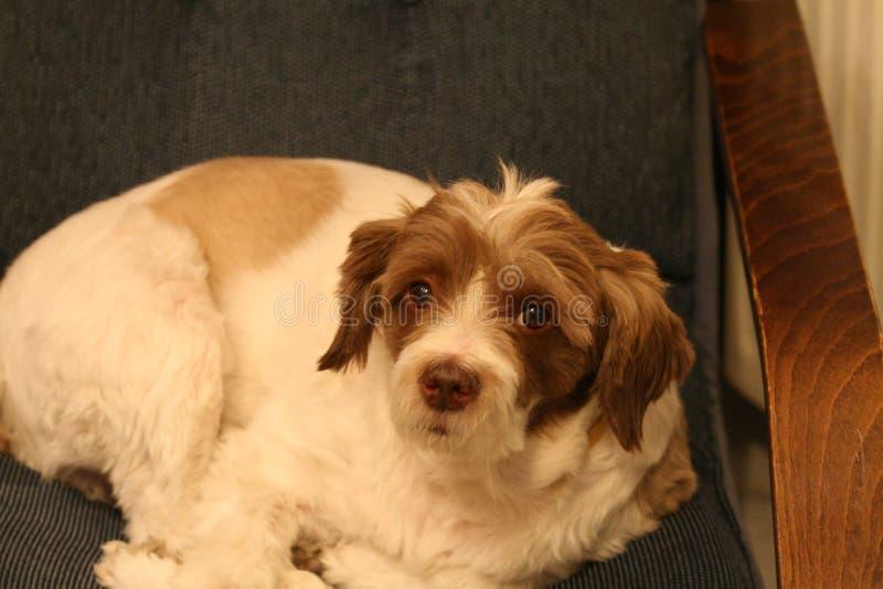 Le chien de race de Terrier pose sur le divan photo stock