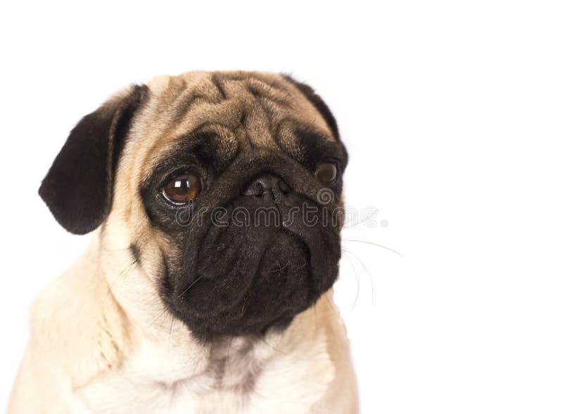 Le chien de roquet se repose et regarde avec de grands yeux tristes images stock