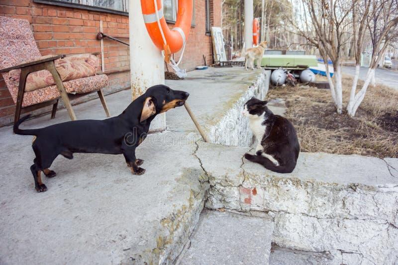 Le chien de teckel aboie après le chat se reposant calmement, sur le porche, au printemps photographie stock libre de droits