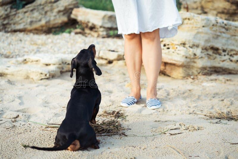 Le chien de teckel regarde son maître, exécutant la commande se reposent, attendant la récompense, pendant la formation photographie stock libre de droits
