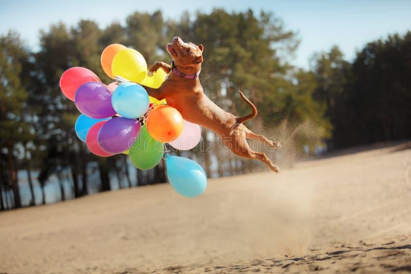 Le chien de terrier de Staffordshire américain saute dans le ciel pour attraper des ballons de vol photographie stock libre de droits