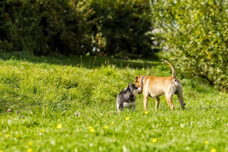 Le chien de traîneau de chiot rencontre le grand chien image libre de droits