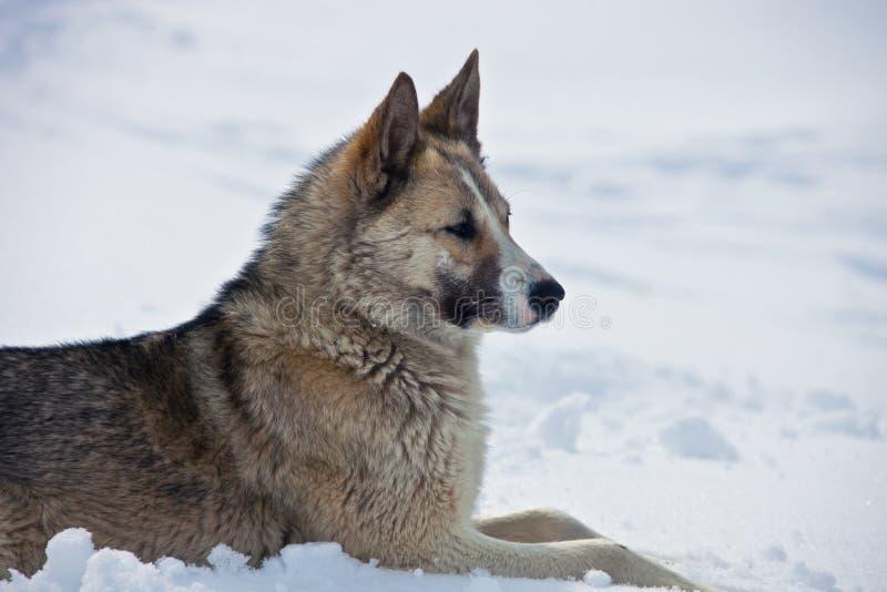 Le chien de traîneau Oriental-sibérien de femelle adulte se trouve sur la neige images stock
