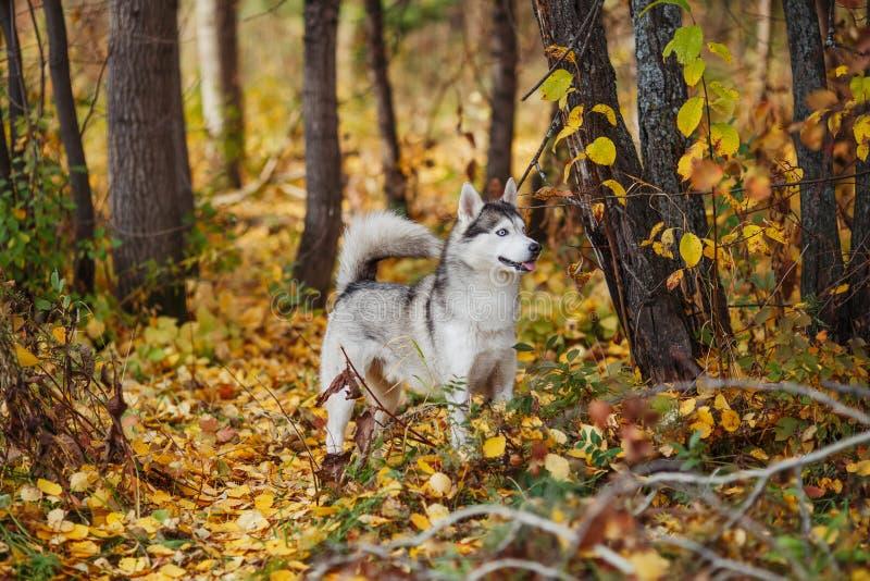 Le chien de chien de traîneau sibérien avec des yeux bleus se tient dans la forêt d'automne photo stock