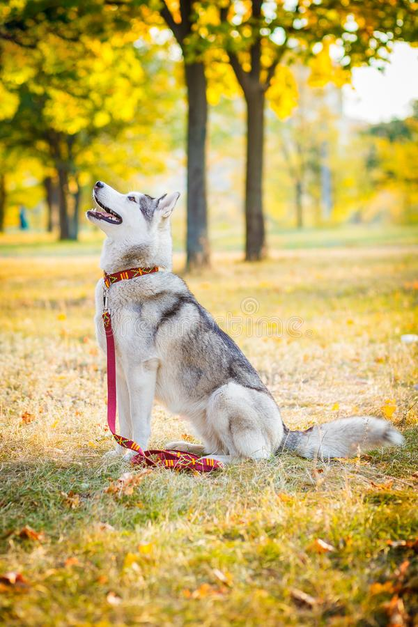 Le chien de traîneau sibérien se repose sur le champ dans un matin givré images stock