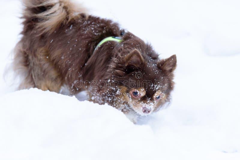 Le chien de tzu de shih a jouer la neige dans la saison d'hiver à Helsinki, Finlande image stock
