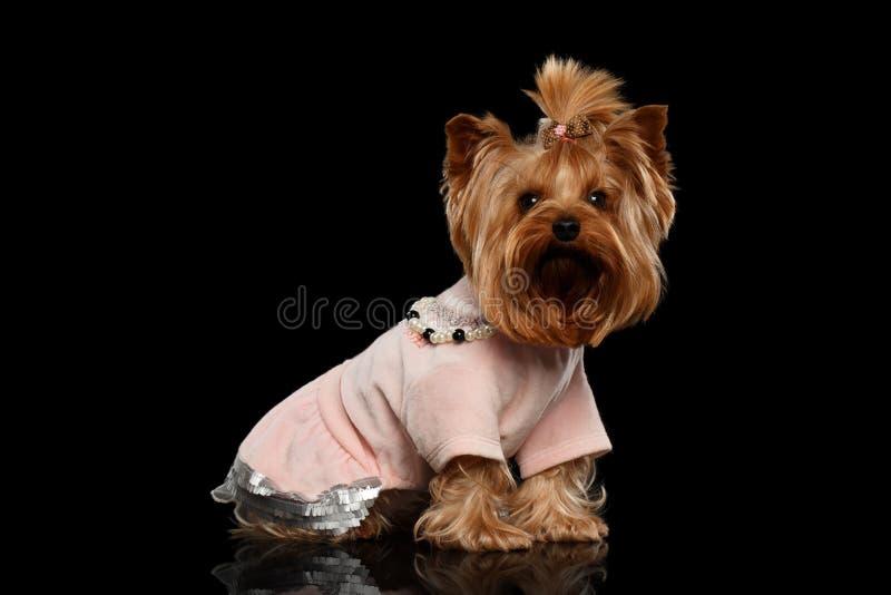 Le chien de Yorkshire Terrier dans des vêtements se repose sur le miroir noir image libre de droits