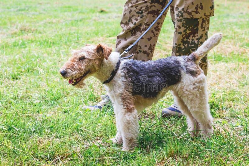 Le chien des races le terrier de renard sur une laisse à côté de son owner_ images stock