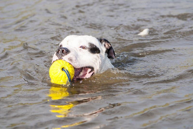 Le chien du Staffordshire Terrier américain nage dans le lac image stock