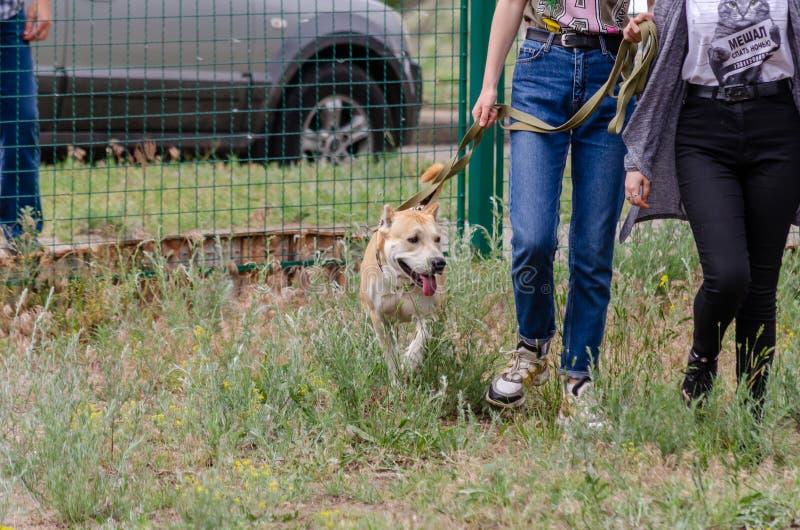 Le chien, en prévision des choses intéressantes au site s'exerçant, marche sur une laisse courte à côté de ses propriétaires photo libre de droits