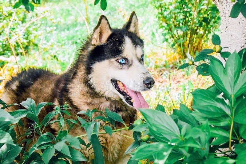 Le chien enroué de race avec des yeux bleus flâne dans le jardin et regarde des clos photographie stock