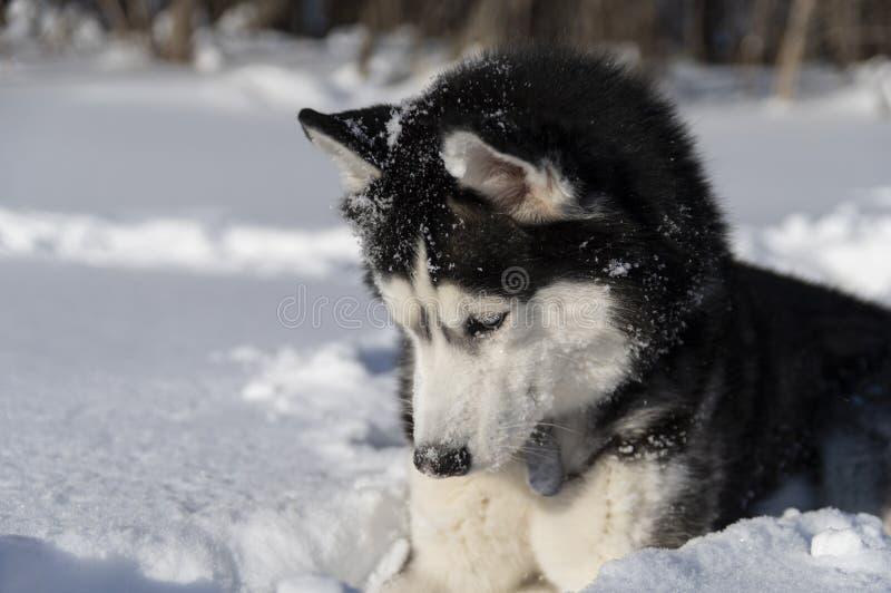 Le chien enroué sibérien regarde sur la neige, photos stock