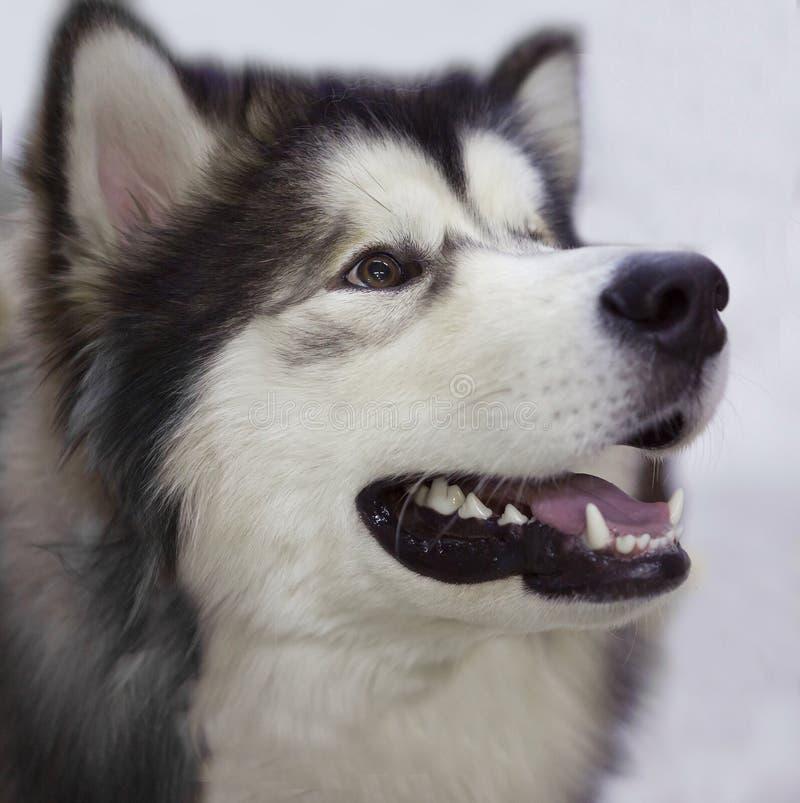 Le chien est le costaud d'Alaska photo libre de droits