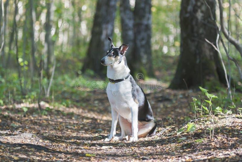 Le chien est sitsin la forêt parmi les arbres colley aux cheveux lisses photo stock