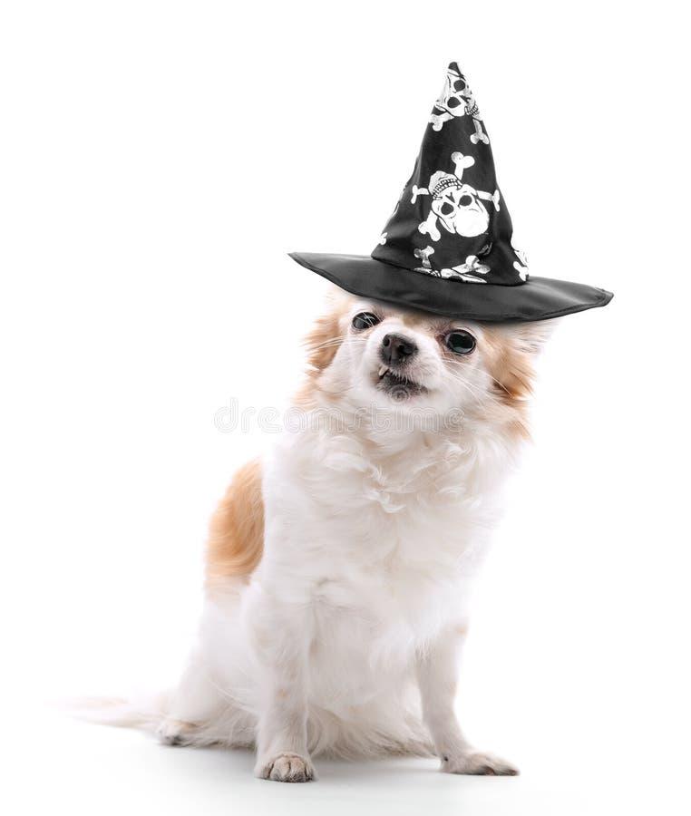 Le chien fâché de chiwawa s'est habillé dans le chapeau noir de magicien mauvais sur le fond blanc image libre de droits