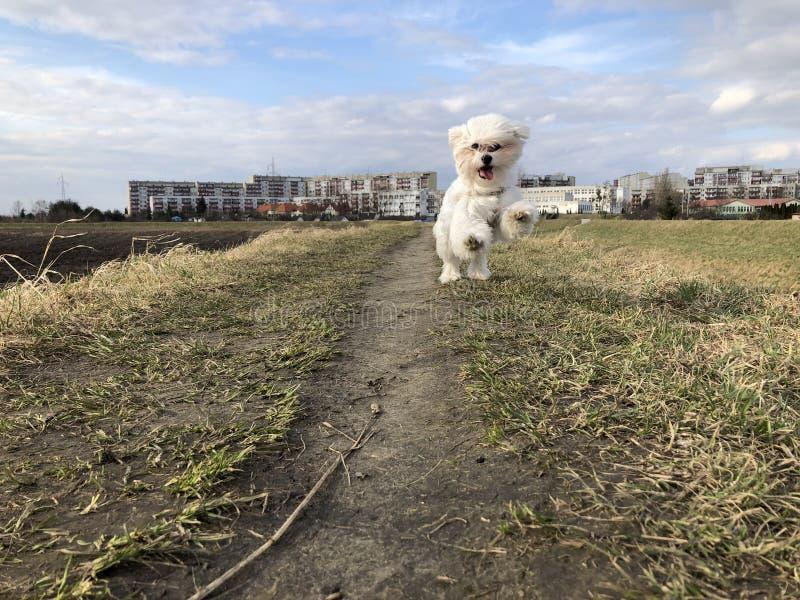 Le chien fonctionne sur l'herbe photographie stock libre de droits