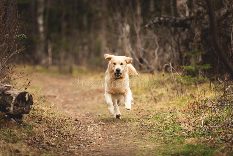 Le chien fou, mignon et heureux multiplient le golden retriever fonctionnant dans la for?t et ont l'amusement au coucher du solei images libres de droits