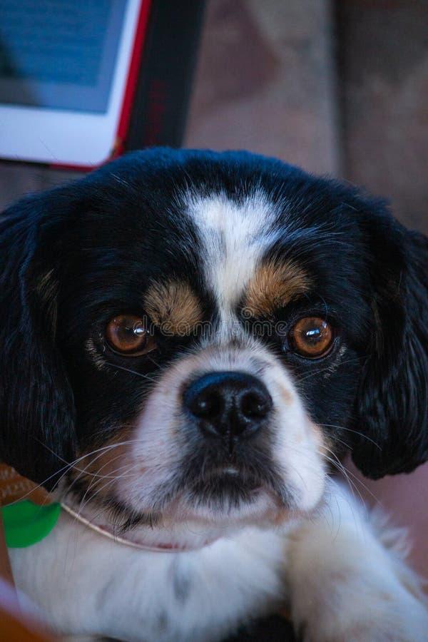 Le chien grincheux de visage regardent fixement vers le bas image libre de droits