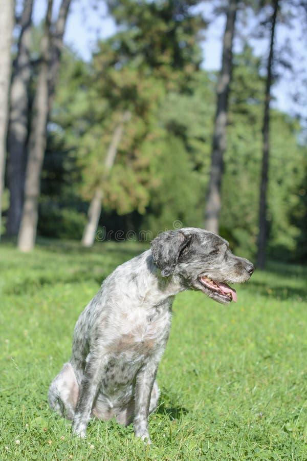 Le chien halète It's par jour d'été chaud Foyer sélectif photo stock
