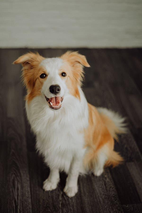 Le chien heureux mignon border collie fait une pose drôle et colle sa langue photographie stock libre de droits