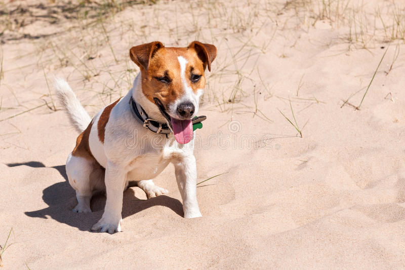 Le chien Jack Russell se repose sur la mer photos libres de droits