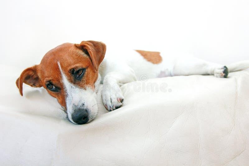 Le chien Jack Russell Terrier après empoisonnement se trouve sur le divan sur un fond blanc, horizontal image stock
