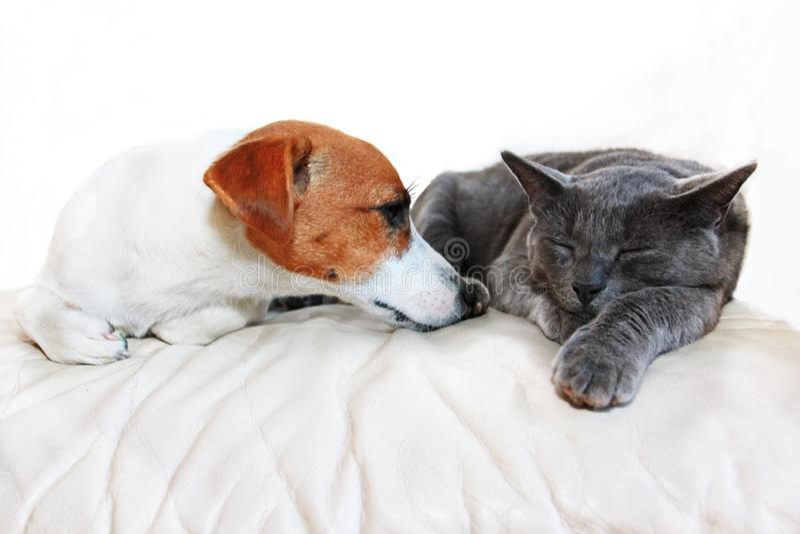 Le chien Jack Russell Terrier et un sommeil birman de race grise de chat sur un sofa blanc muselle entre eux dans une salle blanc photo libre de droits