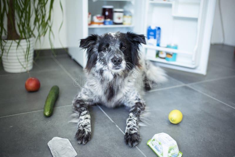 Le chien mélangé de race vole la nourriture du réfrigérateur image stock